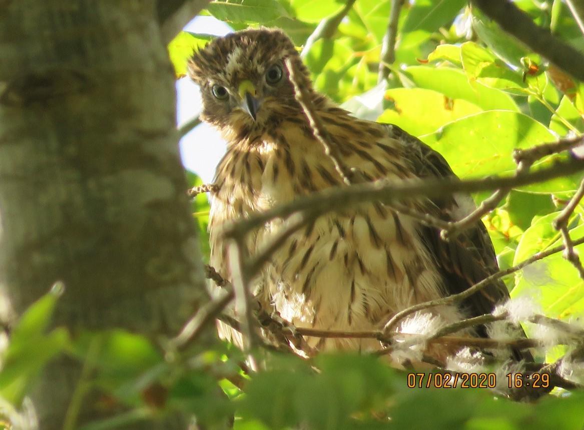 Cooper's Hawk young